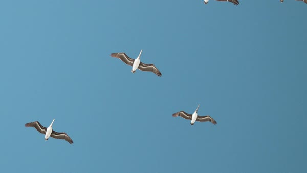 Wide shot of flock of pelicans flying against blue sky Rights-managed stock video