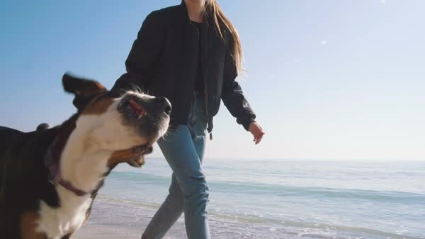 Young woman playing and walking with great Swiss Mountain dog on beach, slow Royalty-free stock video