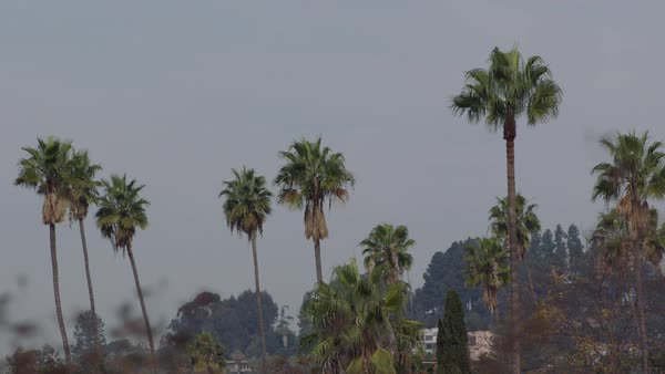 Static shot of palm trees against blue sky, Los Angeles, California, United States of America Royalty-free stock video