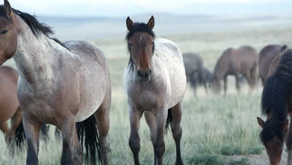 Up close view of wild horses grazing in the Utah desert. Royalty-free stock video