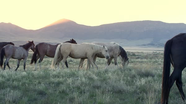 Wild horse herd walking through field as the sun is about to rise as a ray shoots over the mountain. Royalty-free stock video