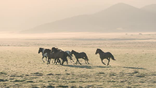 Small group of wild horses running across golden field showing their breath in the cold air. Royalty-free stock video