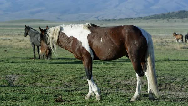 View of wild horse slowly grazing in grass. Royalty-free stock video
