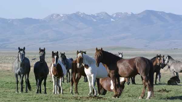 Group of horses standing as one walks through and shakes head. Royalty-free stock video