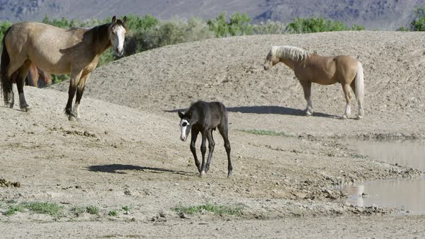 Wild horse colt walking near pond then running back to safety of mother as other horses come near. Royalty-free stock video
