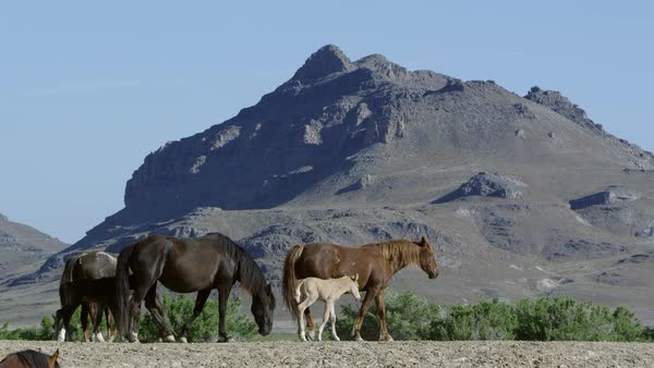 Small group of wild horses walking with young on hill top with mountain in background. Royalty-free stock video