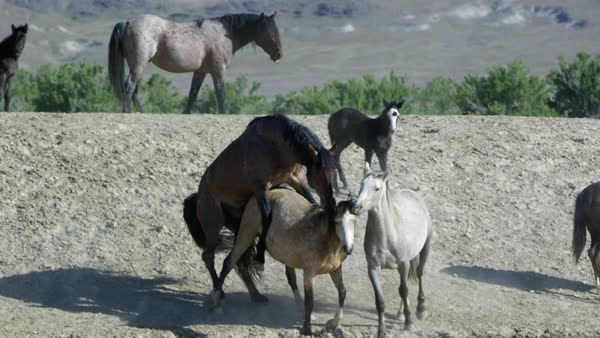 Two wild horses mating Royalty-free stock video