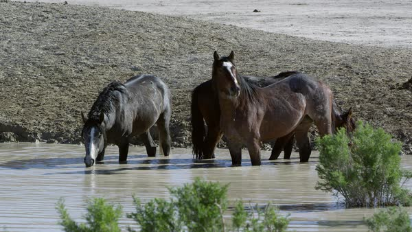 Wild horses standing in water hole getting a drink and looking around. Royalty-free stock video