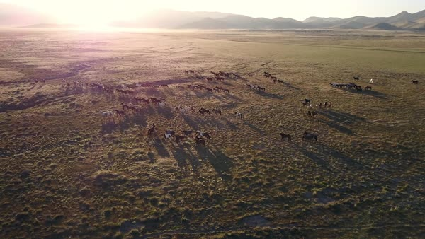 Aerial view of wild horses running revealing more horses as the Sun shines over the mountain top. Royalty-free stock video