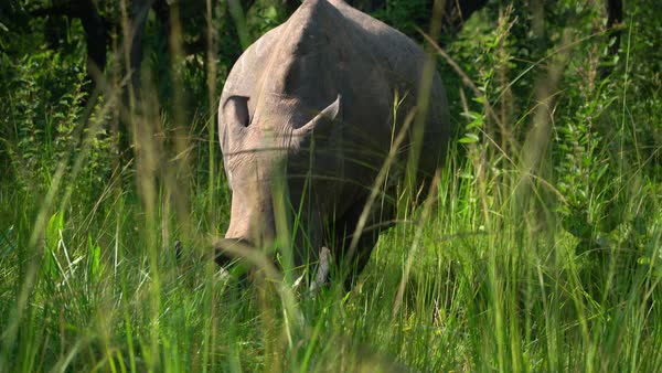 Rhino mother with baby grazing - Stock Video Footage - Dissolve