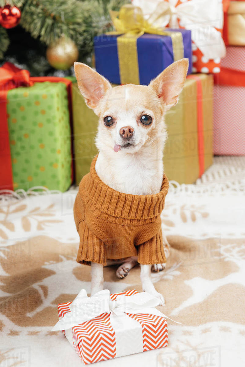 Christmas Dog.Close Up View Of Cute Chihuahua Dog In Sweater With Wrapped Christmas Presents Behind At Home Stock Photo
