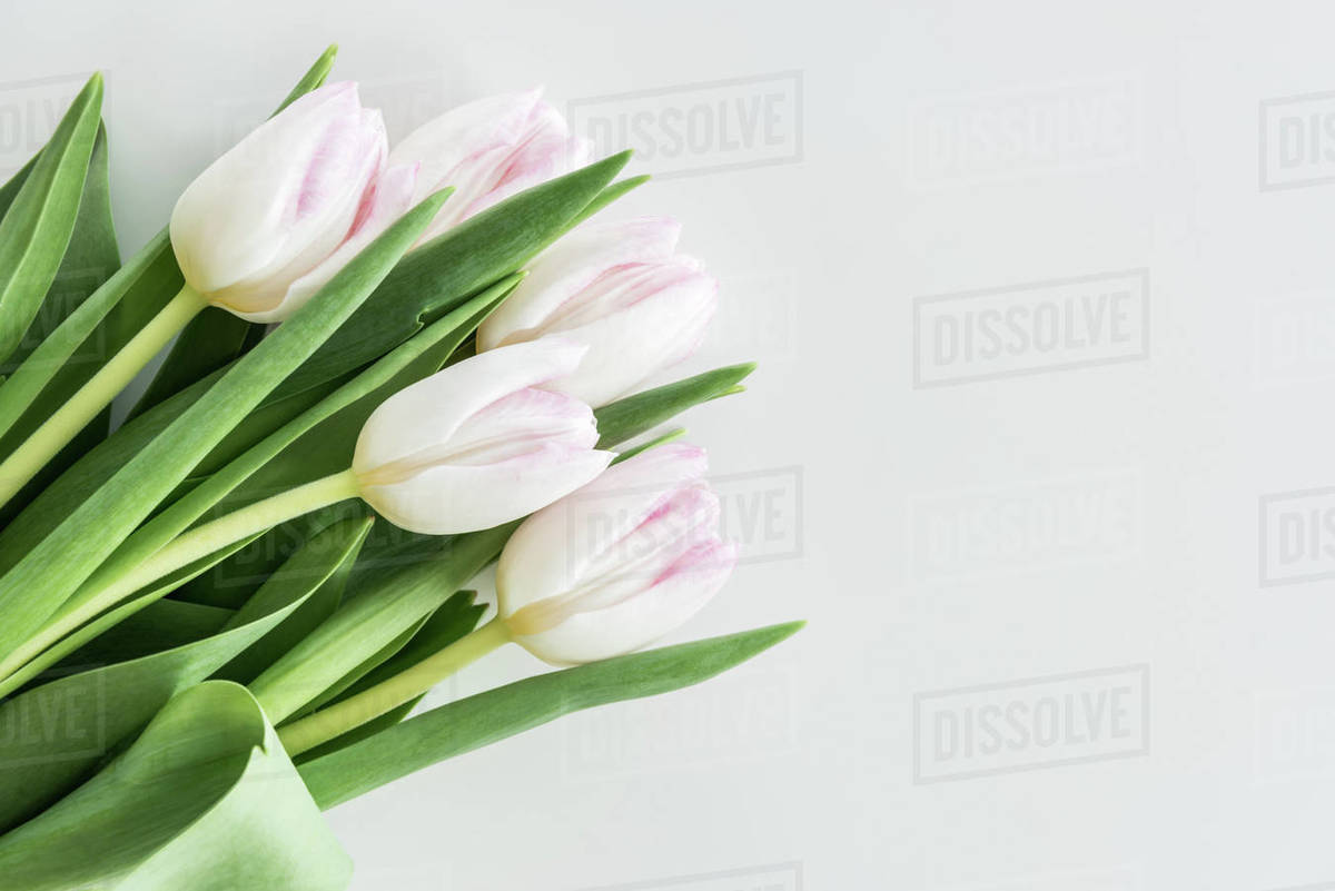 Light Pink Tulips Isolated On White With Copy Space Wedding