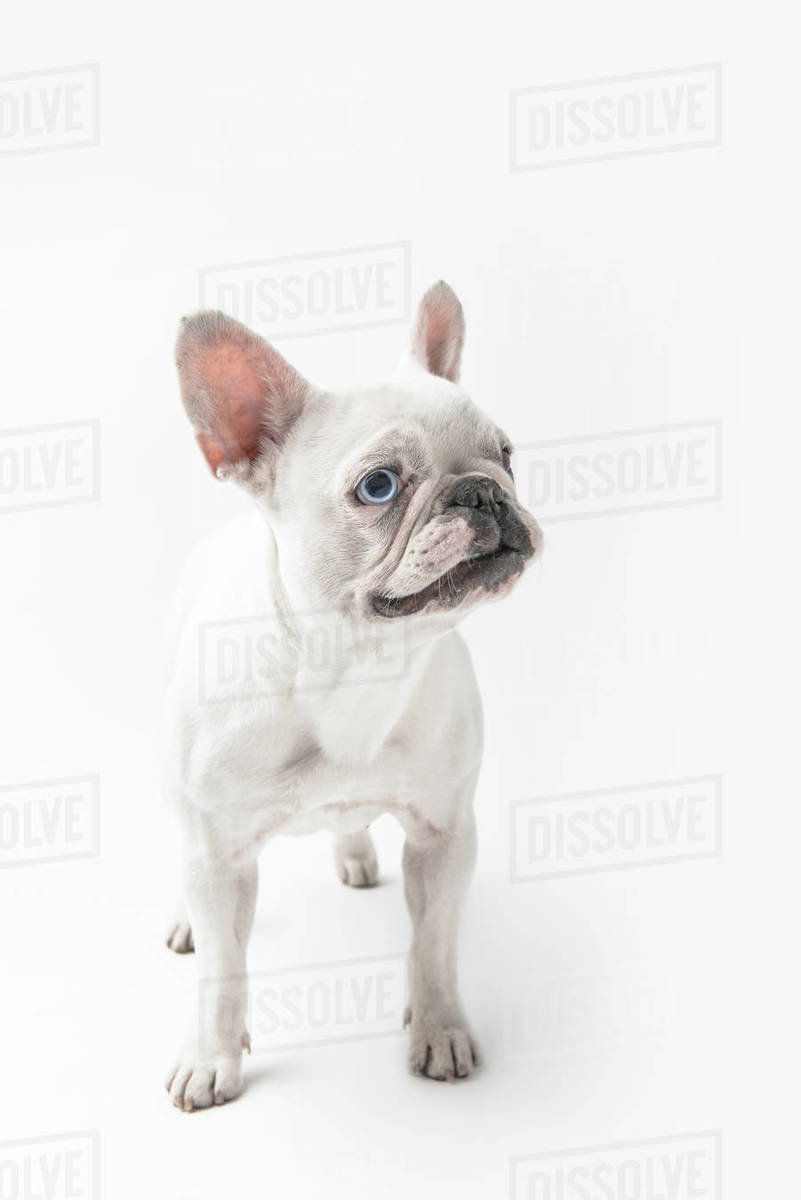 Adorable French Bulldog Puppy Standing