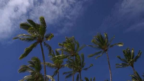 Wide shot of windblown palm trees in Hawaii, USA Royalty-free stock video