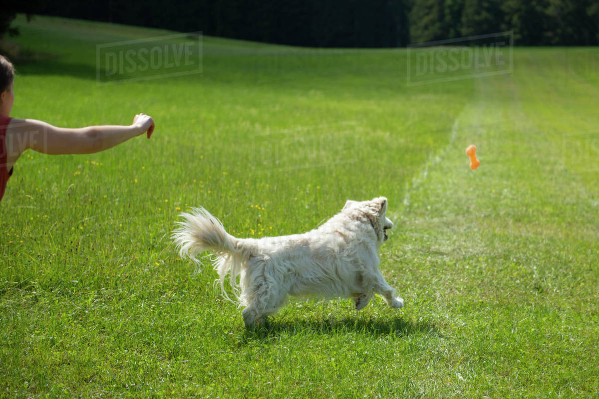 Golden retriever running to catch a toy in grass field Royalty-free stock photo
