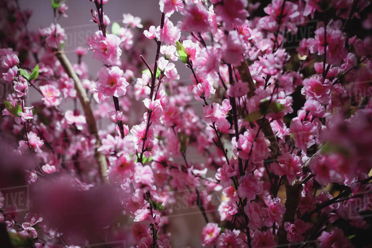 Close Up Of Pink Flowers In Restaurant Stock Photo Dissolve