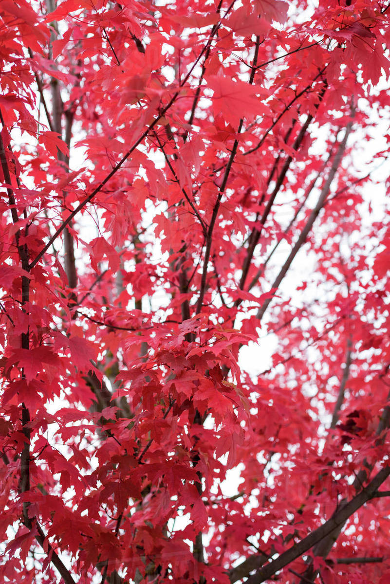 Close Up Of Red Maple Leaf On Tree Stock Photo