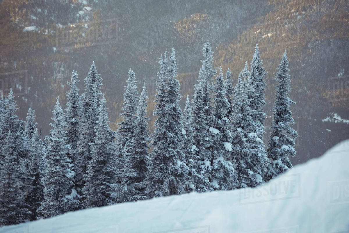 snowy pine trees on the alp mountain during winter stock photo