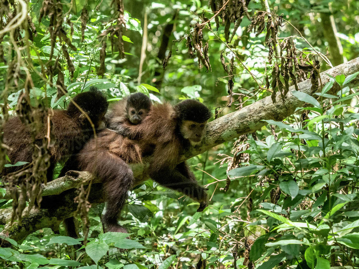 An adult black capuchin monkey (Sapajus nigritus) with youngster on its back at Iguacu Falls, Misiones Province, Argentina, South America Royalty-free stock photo
