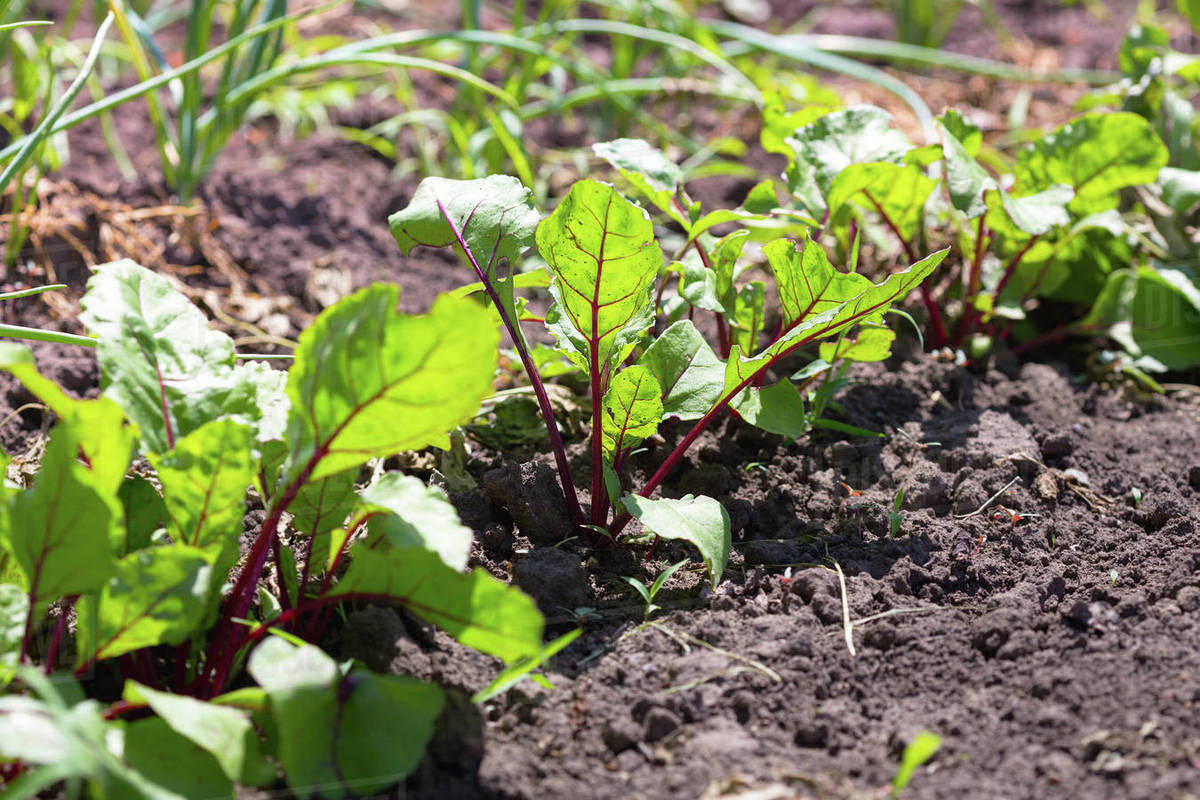 Young beet growing in the garden Royalty-free stock photo