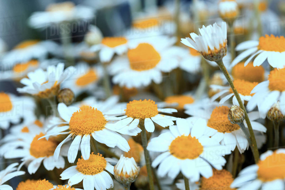 Summer. Beautiful background of chamomile field Royalty-free stock photo