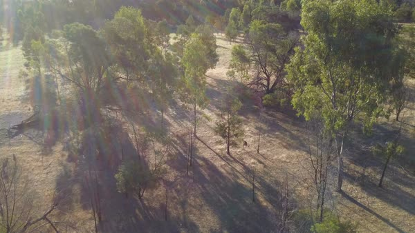 Drone flying over jumping kangaroos in australian bush Royalty-free stock video
