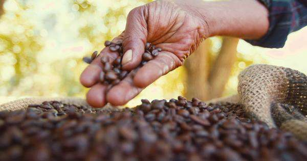 Freshly harvested from the farm, organic coffee is tested for quality in slow motion Royalty-free stock video