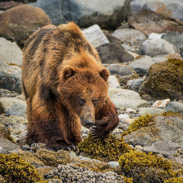 USA, Alaska, Glacier Bay National Park. Brown bear on beach. Royalty-free stock photo
