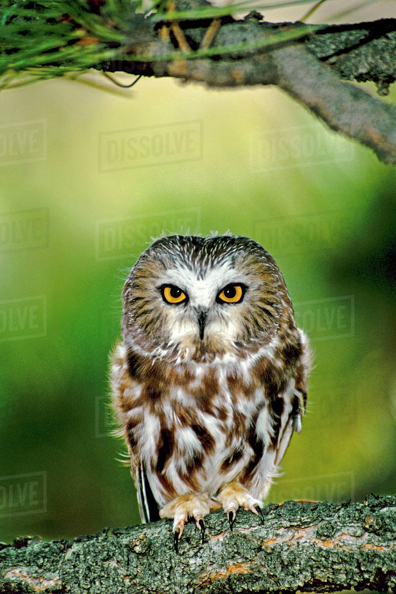 USA, Colorado  Close-up of northern saw-whet owl perched on fir tree limb   (Wildlife Rescue) stock photo