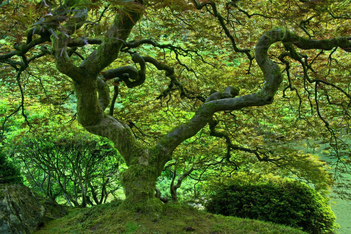 Japanese Maple Summer Portland Japanese Garden Portland Oregon