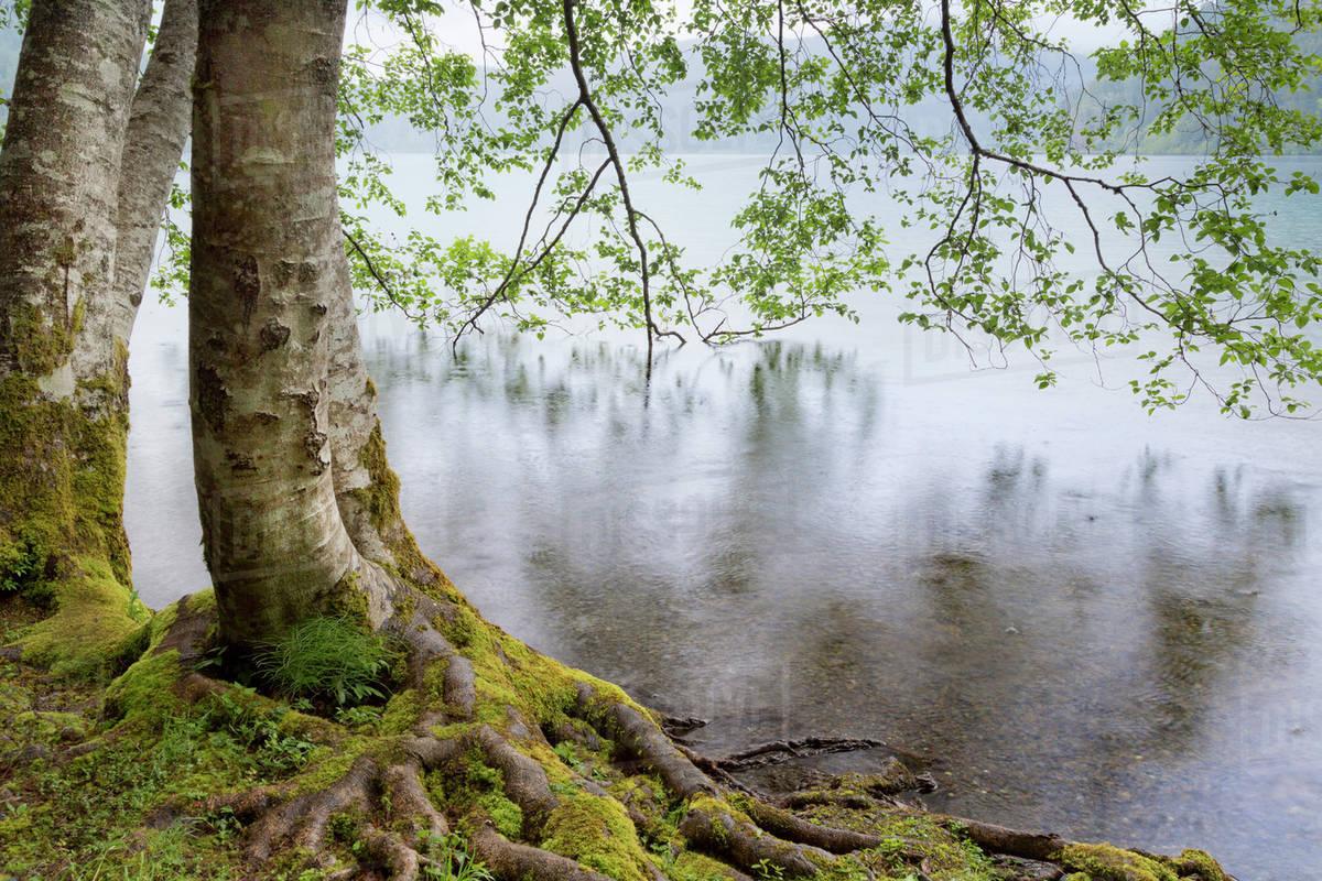 Usa Washington Olympic National Park Alder Trees Overhanging Lake Crescent On Rainy Day Stock Photo Dissolve
