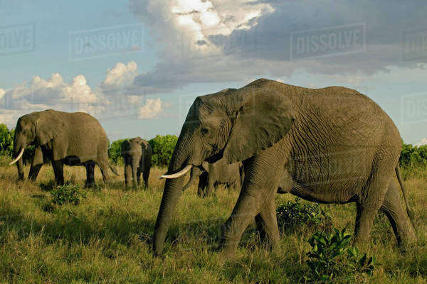 African Elephants grazing, Loxodonta africana, Masai Mara, Kenya Royalty-free stock photo