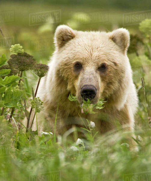 USA, Alaska, Lake Clark National Park. A blonde grizzly bear with a mouth full of fern leaves. Royalty-free stock photo