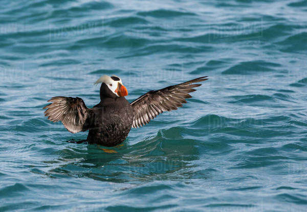 Alaska, Glacier Bay National Park. Tufted puffin in water. Royalty-free stock photo