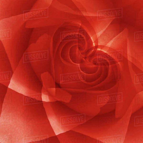 USA, Colorado, Lafayette. Red rose montage. Royalty-free stock photo