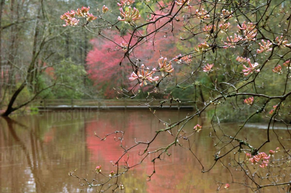 USA, Georgia, Callaway Gardens, Azalea branches over pond in spring ...