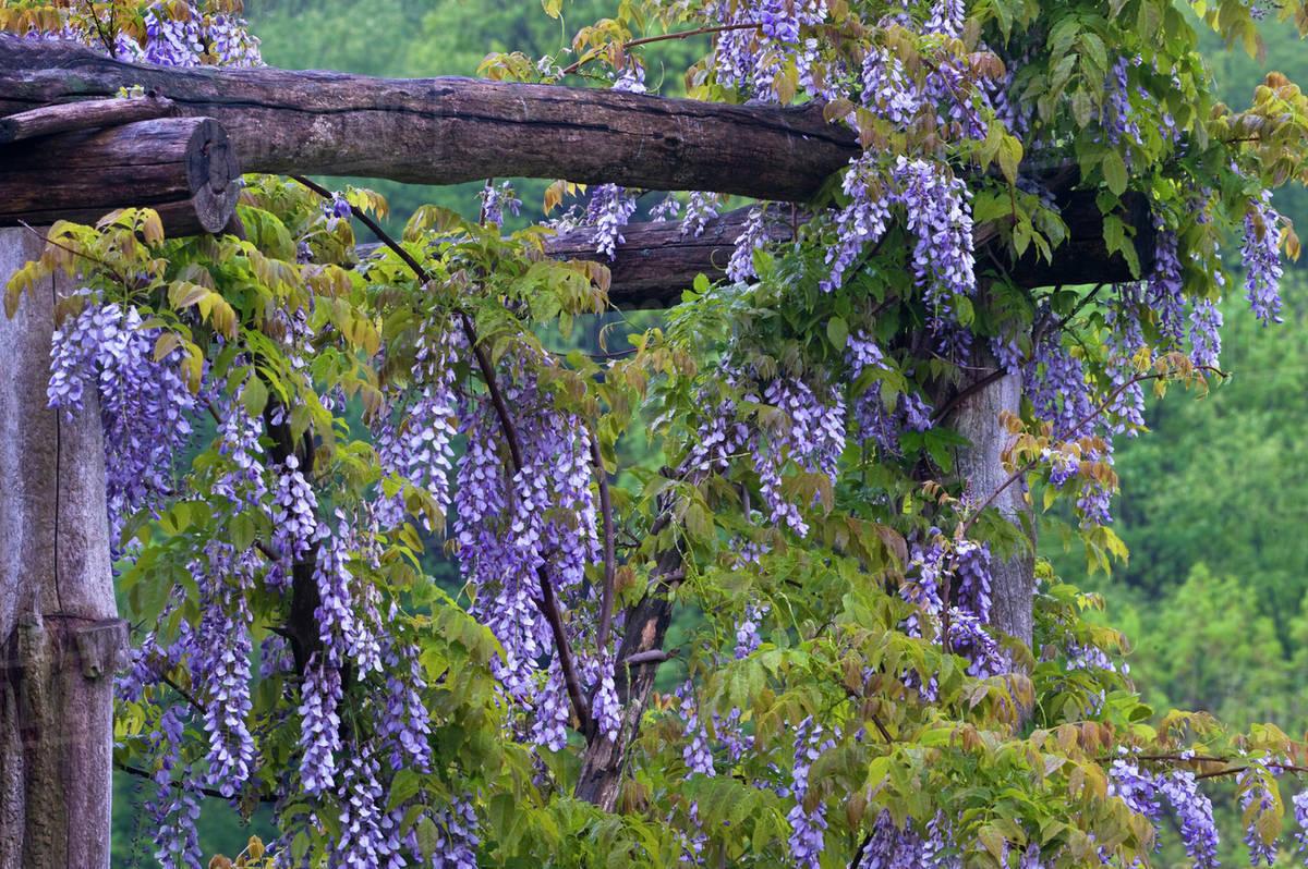Purple Wisteria Flowers Hang On Wooden Trellis In Garden.