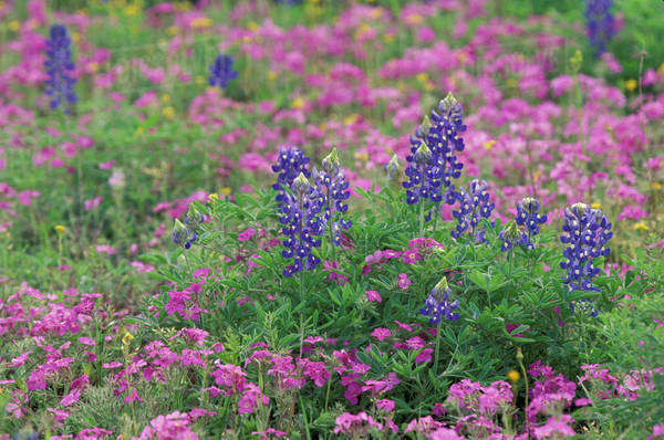 USA, Texas Hill Country. Bluebonnets among phlox Royalty-free stock photo