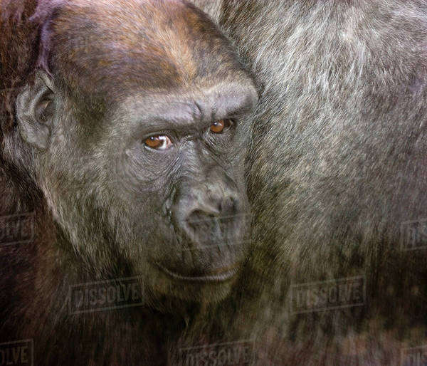 USA,Washington,Seattle,Woodland Park Zoo. Close-up of gorilla. Royalty-free stock photo