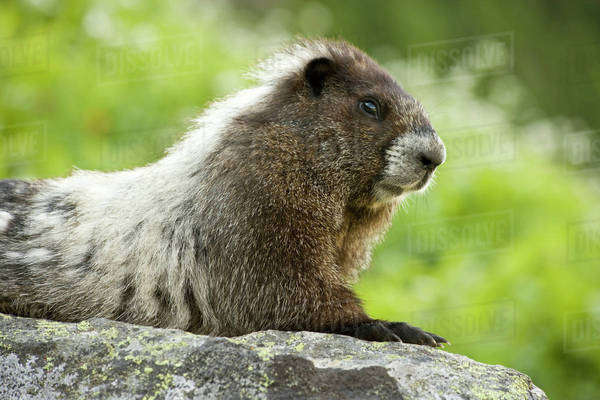 USA, Washington, North Cascades National Park, Cascade Pass. Close-up of marmot sitting on rock. Royalty-free stock photo