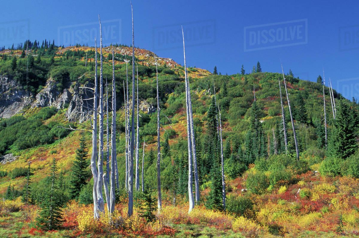 N.A., USA, Washington, Mt. Rainier National Park, Ghost trees with ...
