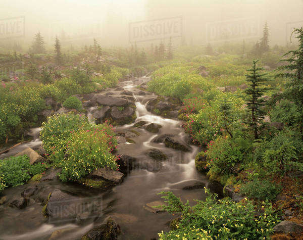 WA, Mt. Rainier National Park, Monkeyflowers and fog along Paradise Creek Royalty-free stock photo