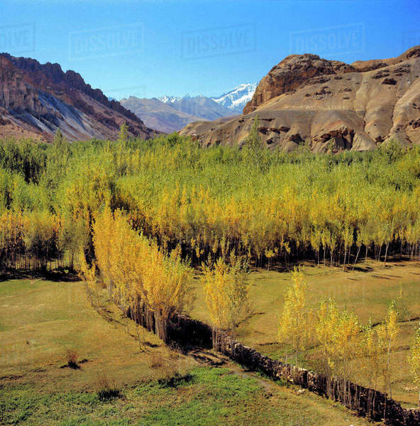 Afghanistan, Bamian Valley. Cultivated cottonwood trees provide timber in Bamian Valley, a World Heritage Site, in Afghanistan. Royalty-free stock photo
