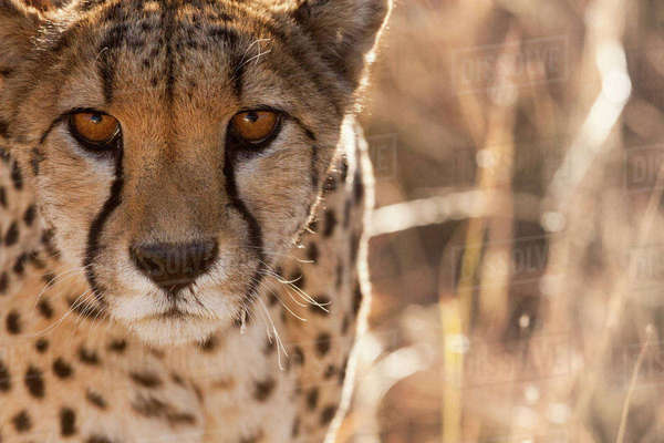 Cheetah Conservation Fund, Namibia. Africa. Off-center close-up of a cheetah. Royalty-free stock photo