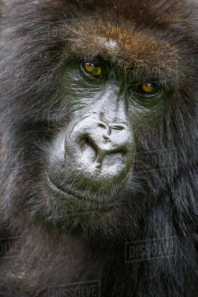 Africa. Rwanda. Female Mountain Gorilla (Gorilla gorilla beringei) of the Umubano Group at Volcanoes National Park in the Virungas. Royalty-free stock photo