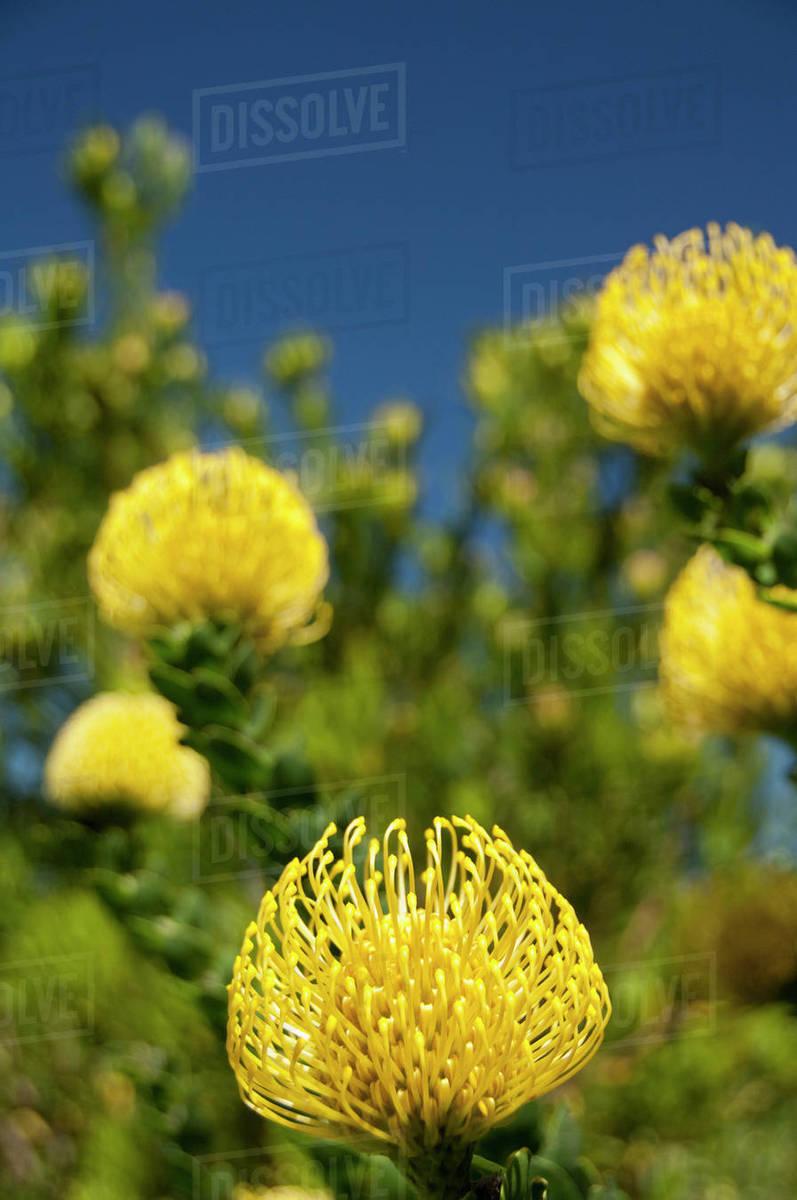 South Africa Cape Town Kirstenbosch National Botanical Garden Yellow Pincushion Protea Aka Kleinkopspeldekussing Or Berfynbos Leucospermum