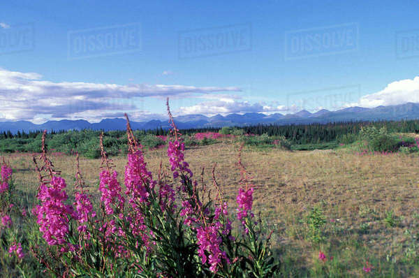 North America, Canada, Yukon. Fireweed blooms near Kluane National park. Royalty-free stock photo