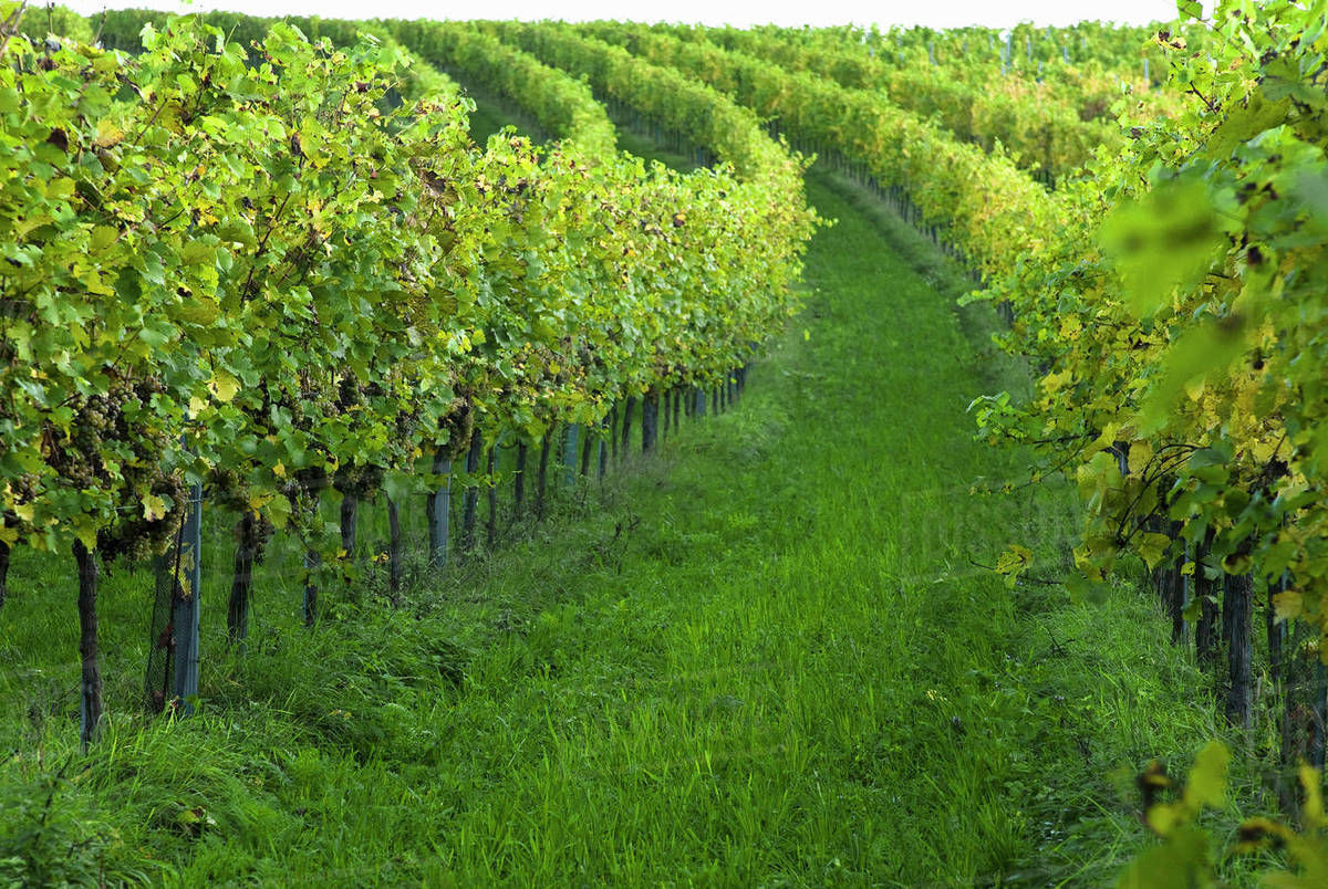 Gsing Am Wagram Lower Austria Austria Vineyard With Trees And Grapes Stock Photo