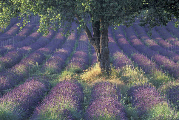 Europe, France, Provence, Sault, Lavender fields Royalty-free stock photo