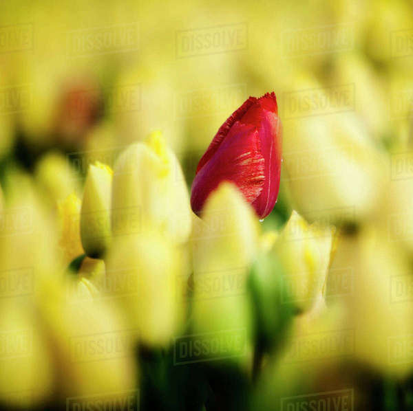 One red tulip growing amongst all a field of all yellow. Royalty-free stock photo